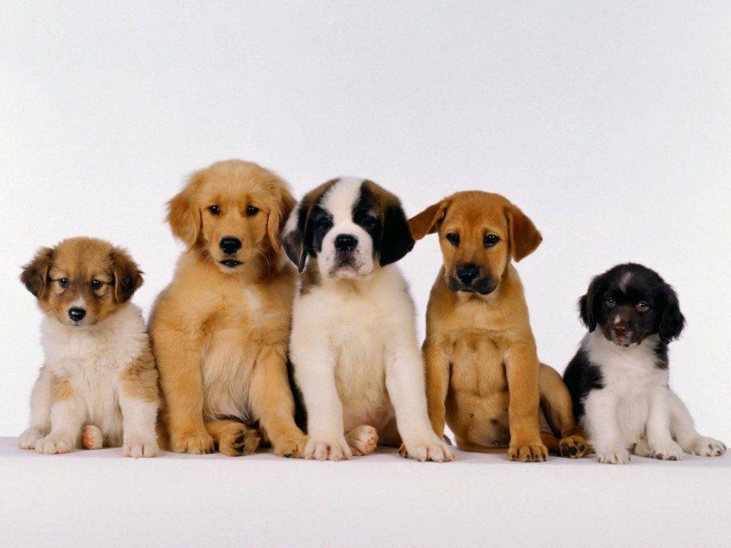 cachorros-diferentes-razas