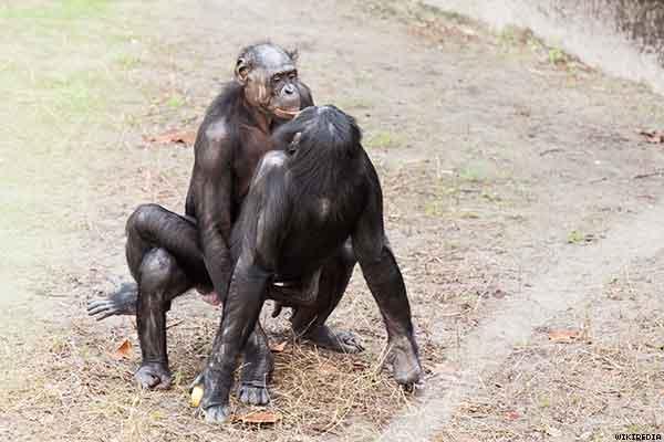 bonobos gay