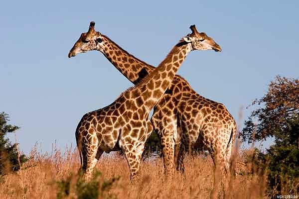 girafas homosexuales