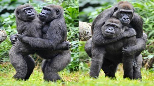 gorilas homosexual