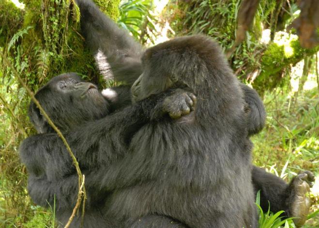 gorilas lesbianas