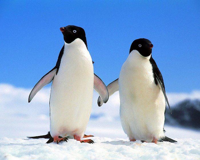 pinguino-gay