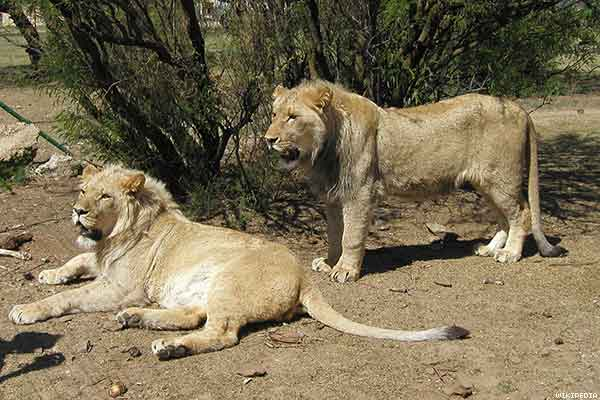 leones bisexuales